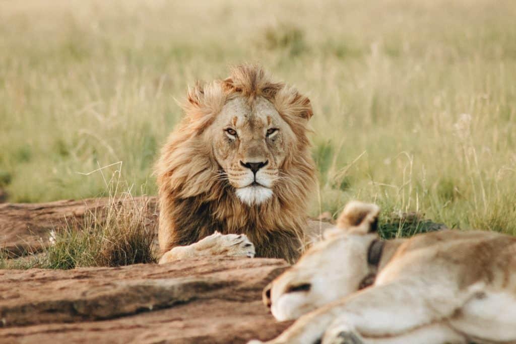Safari au Mozambique - Lion