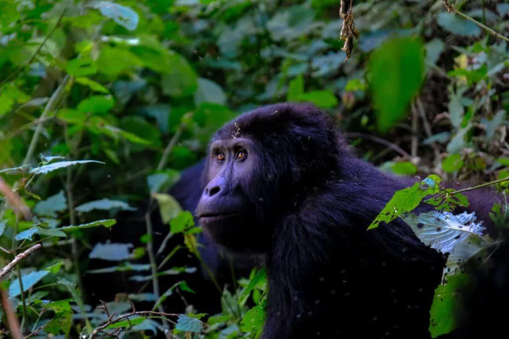 Safari en Ouganda - Kisoro
