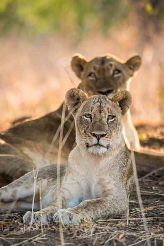 Safari en Zambie - Lionnesses