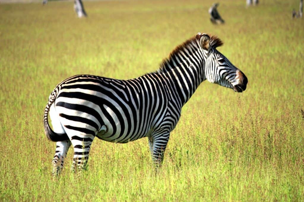 Safari en Zambie - Parc national de South Luangwa