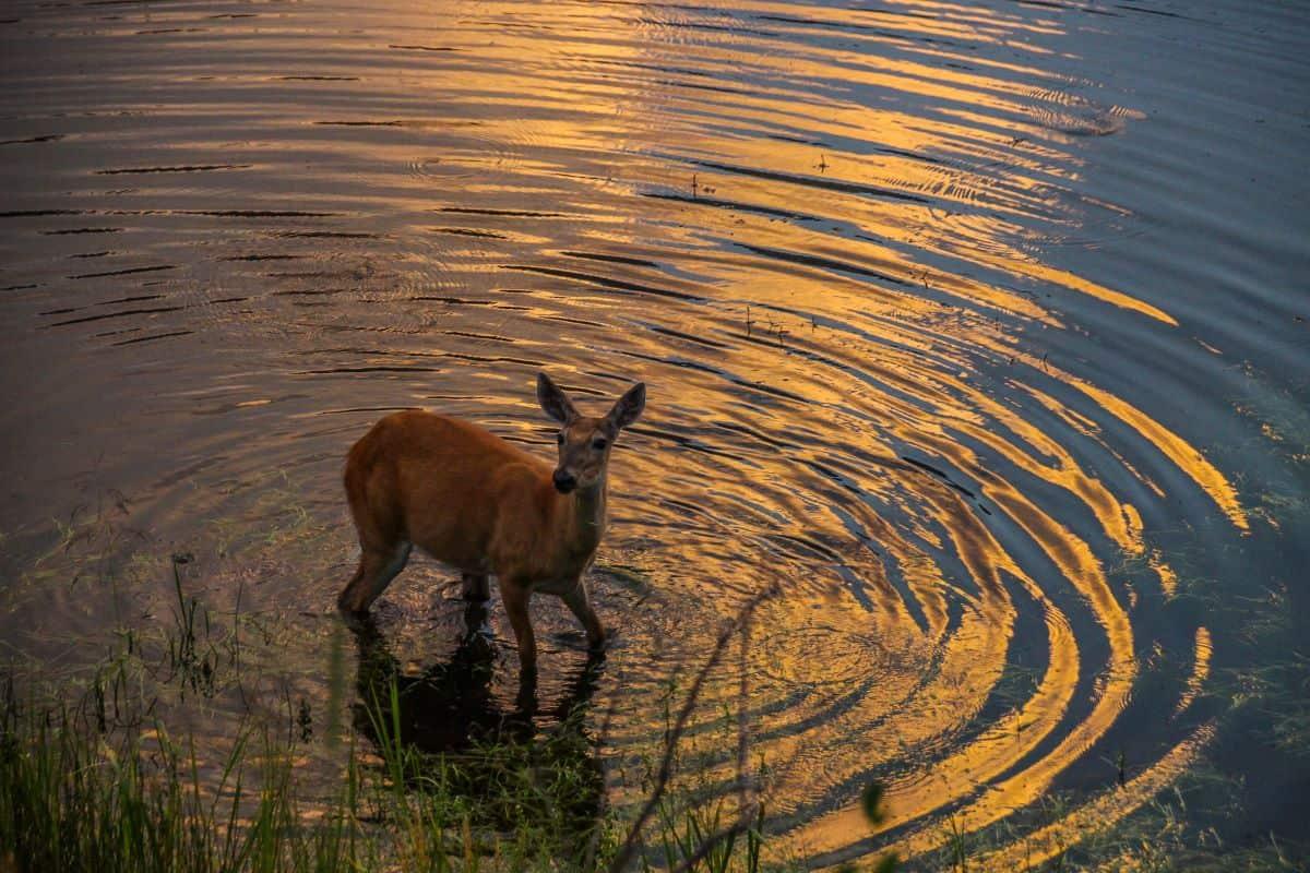 antilope semi aquatique du parc de kasanka