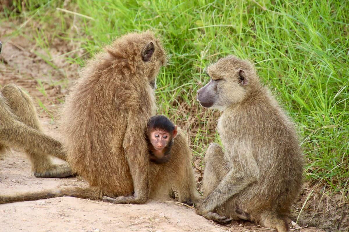 des babouins jaunes