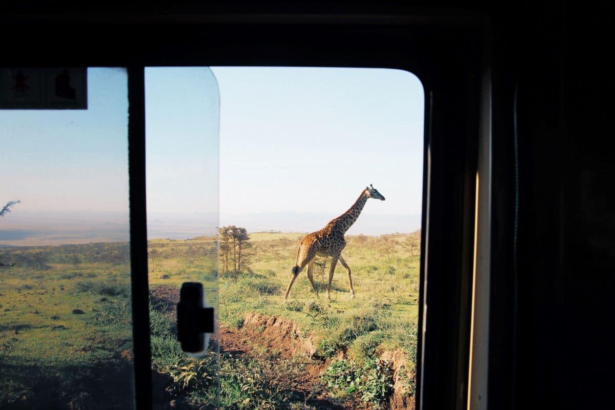 girafe en safari en zimbabwe