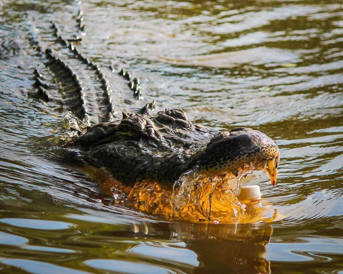 croccodile kasanka