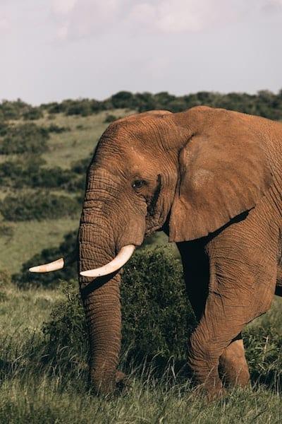 elephant afrique sud