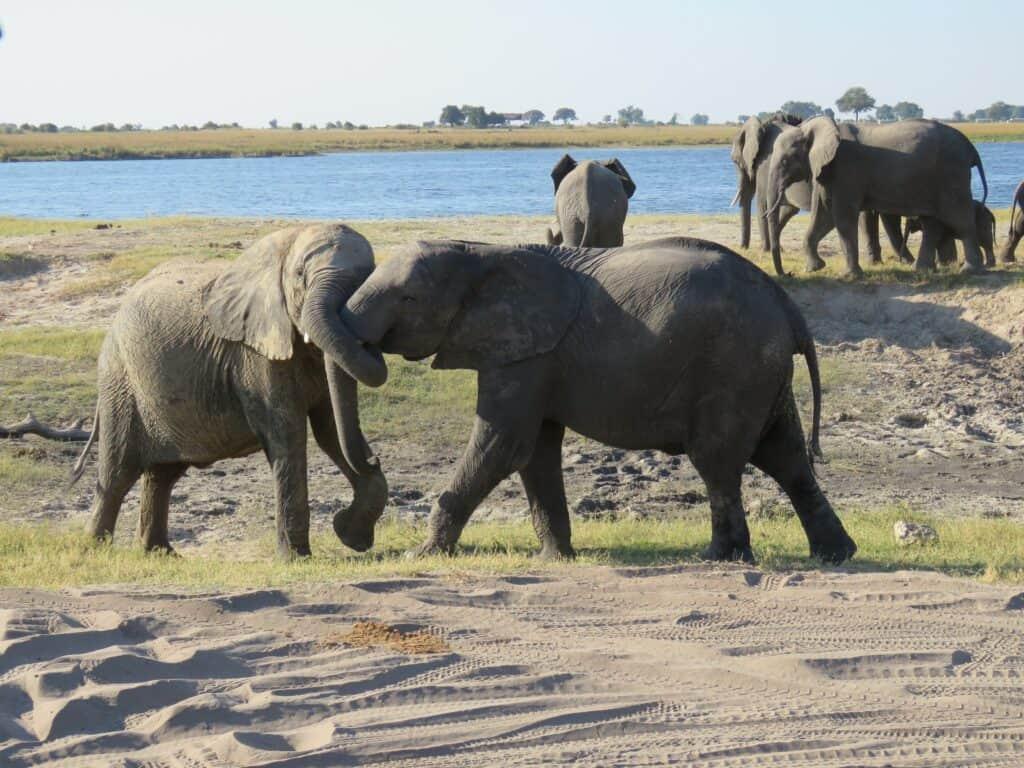 elephant chobe
