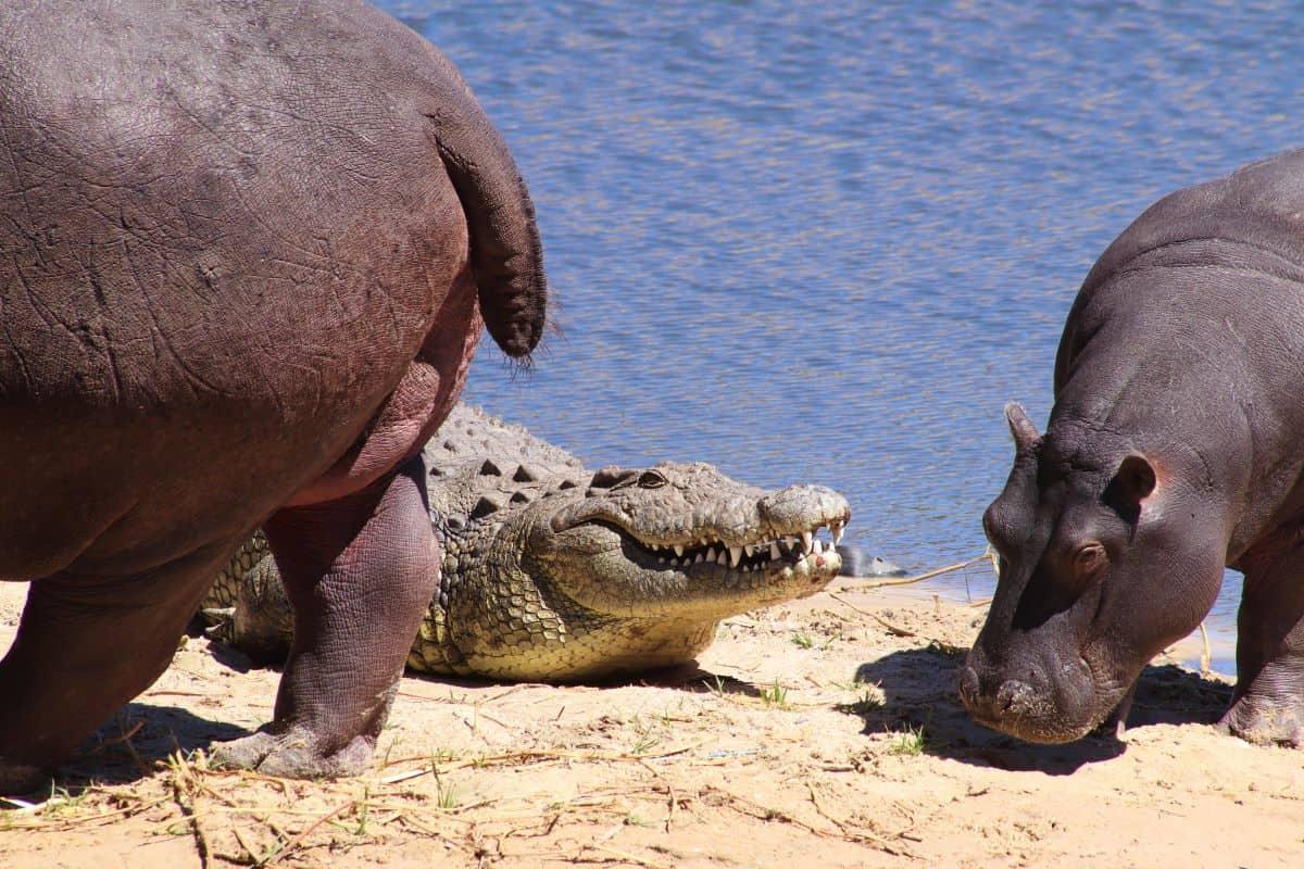 hippopotames et crocodile en Afrique du sud