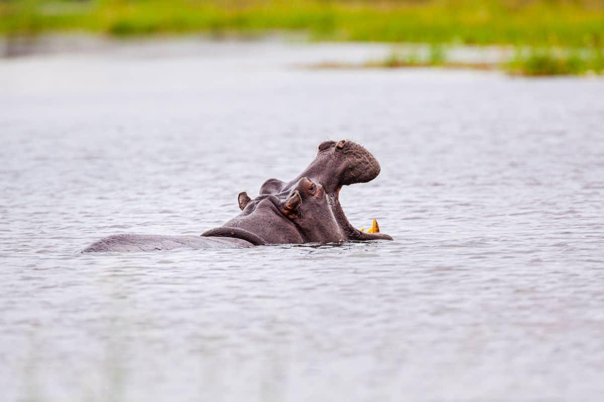 hippopotame Niassa