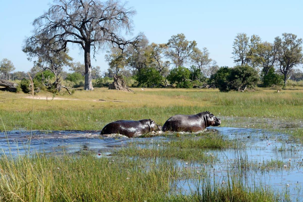 hippopotames de Zambie