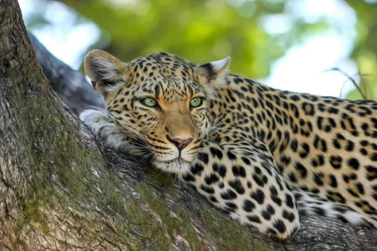 léopard kafue