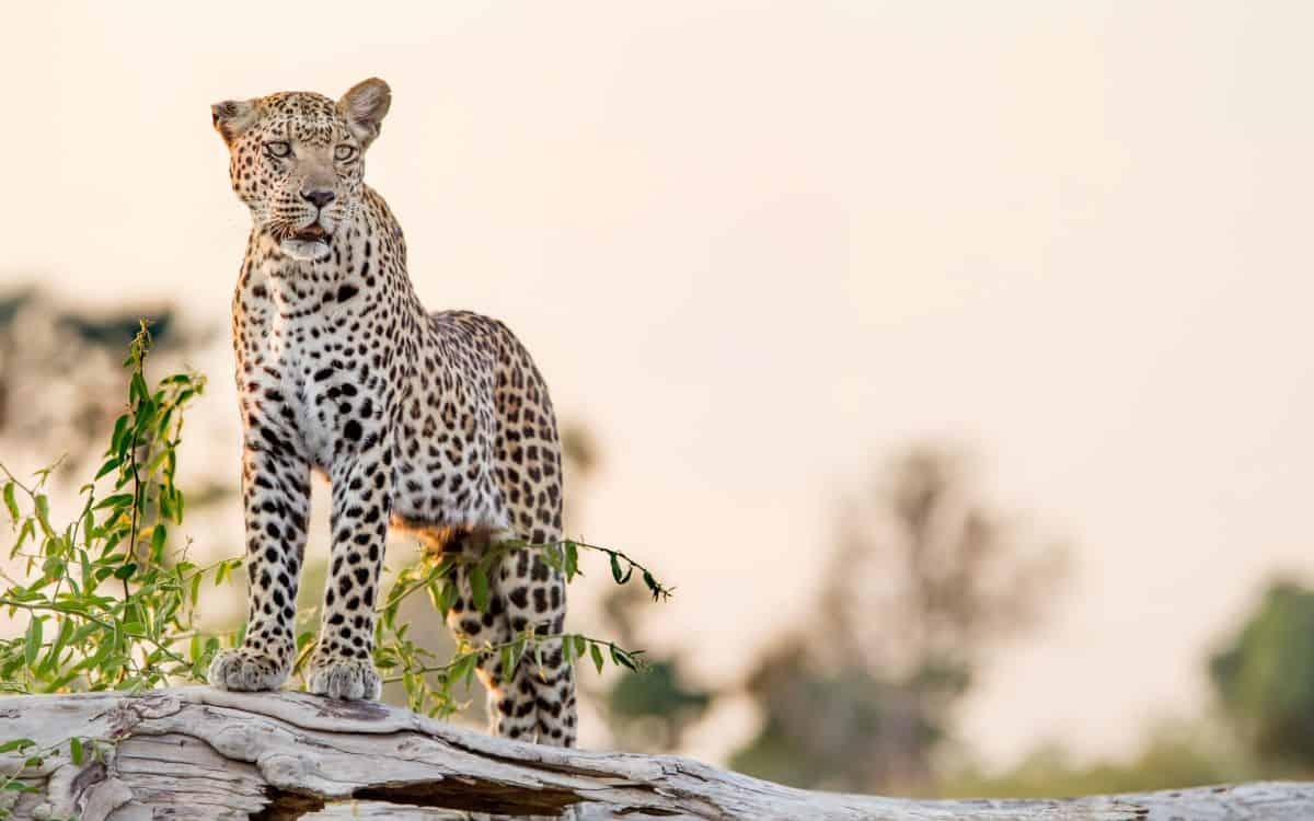 léopard zambie