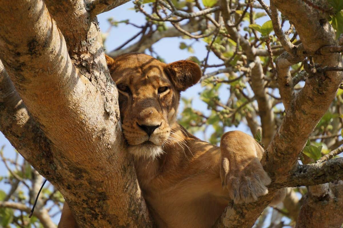 lion sur arbre au Parc National du Lac Manyara