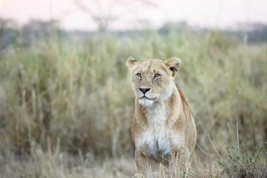 Une lionne du parc national de South Luangwa
