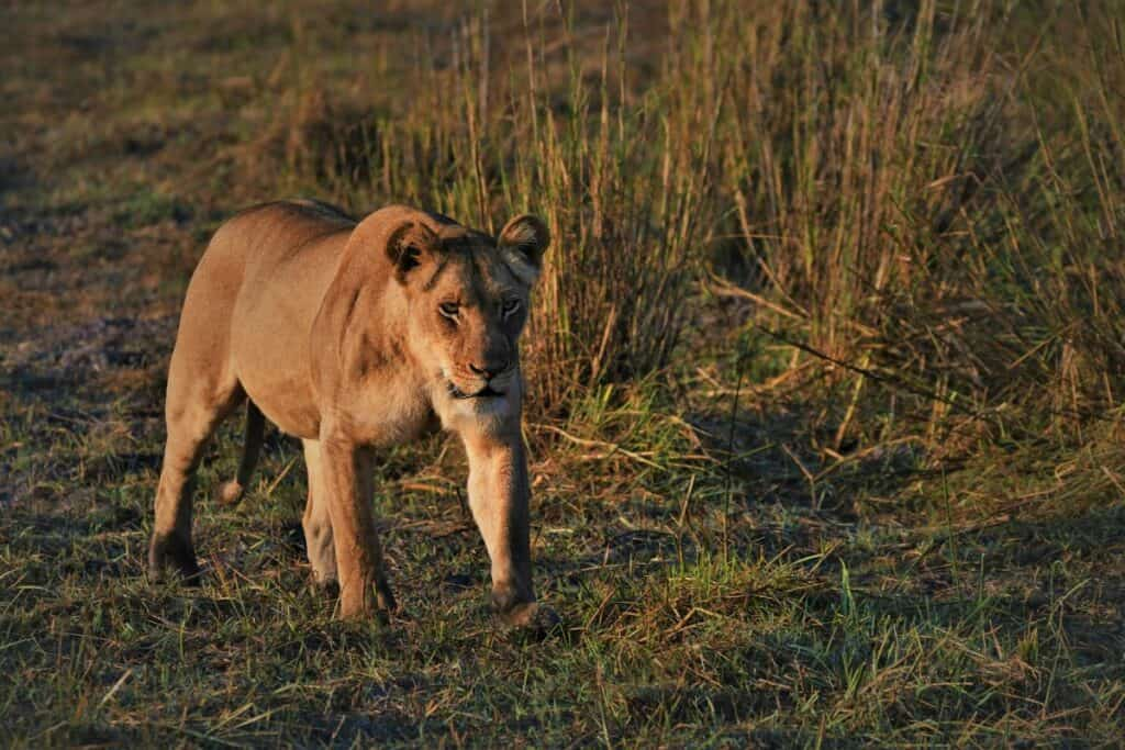lionne du parc bas zambèze