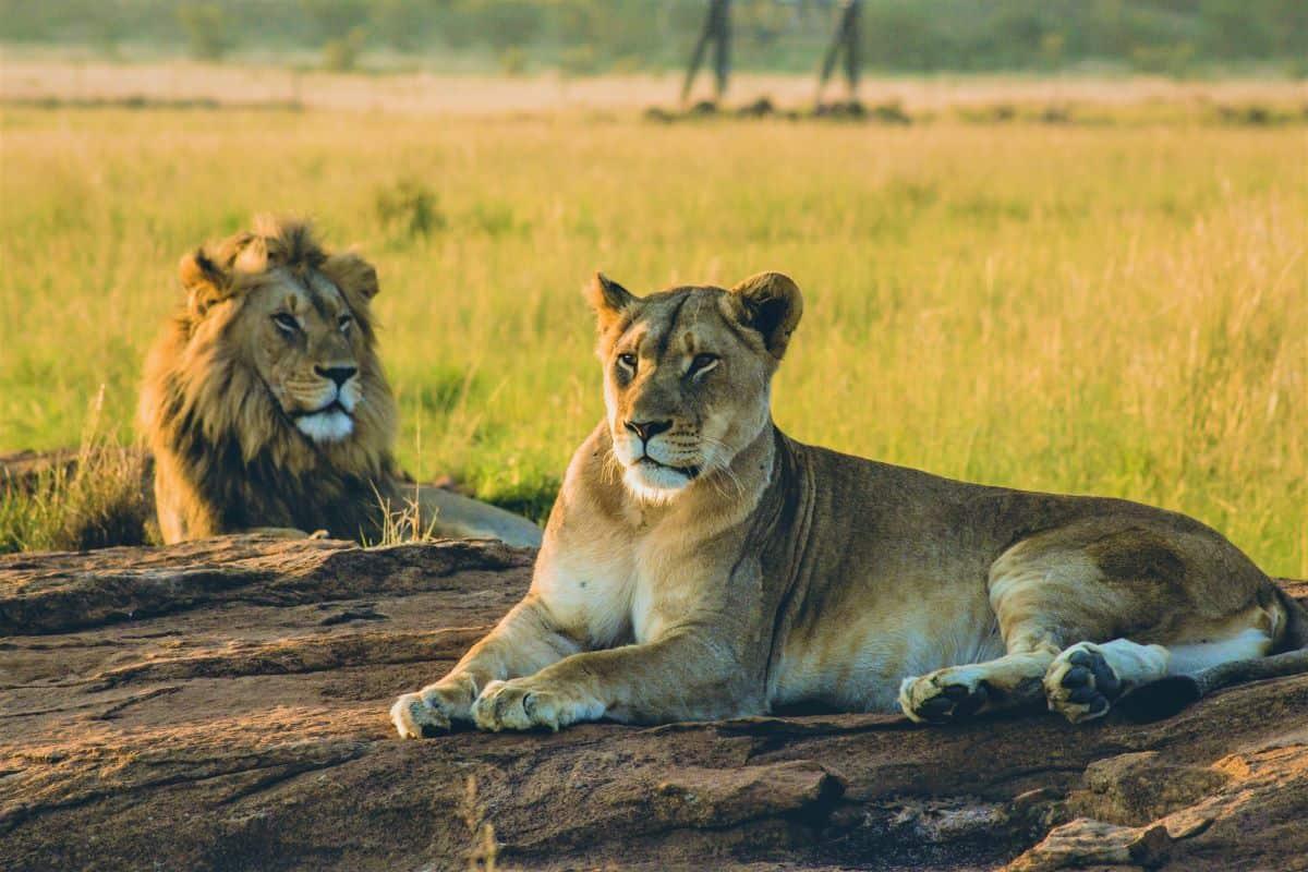 lions au parc national de khaudum