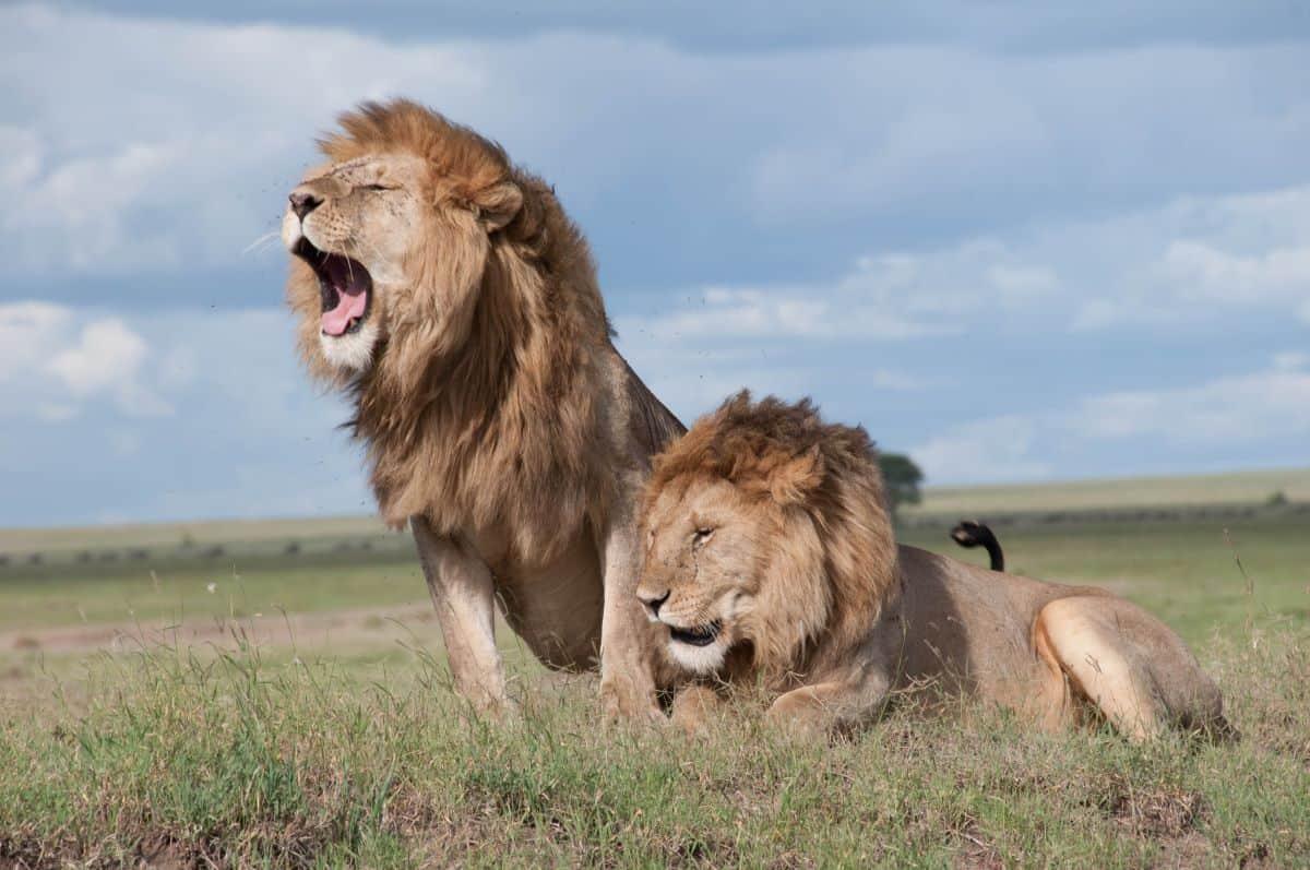 les lions du parc national saadani