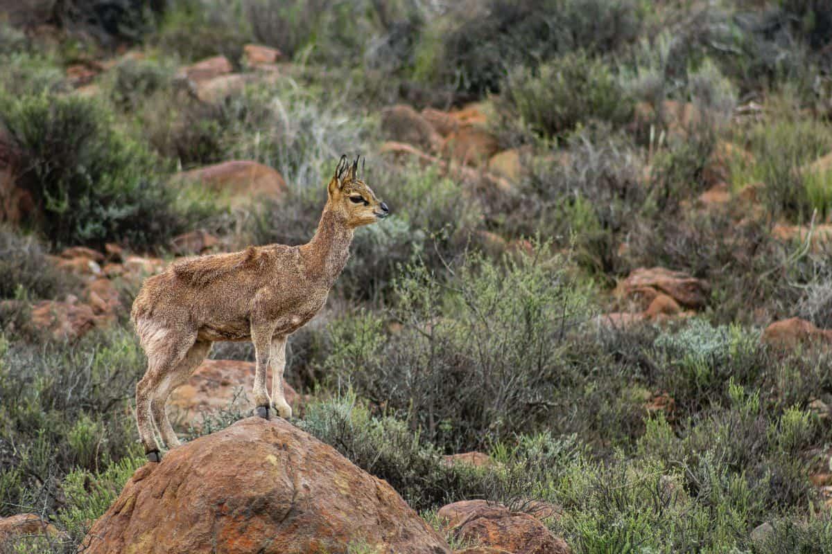 Un oréotrague en Namibie