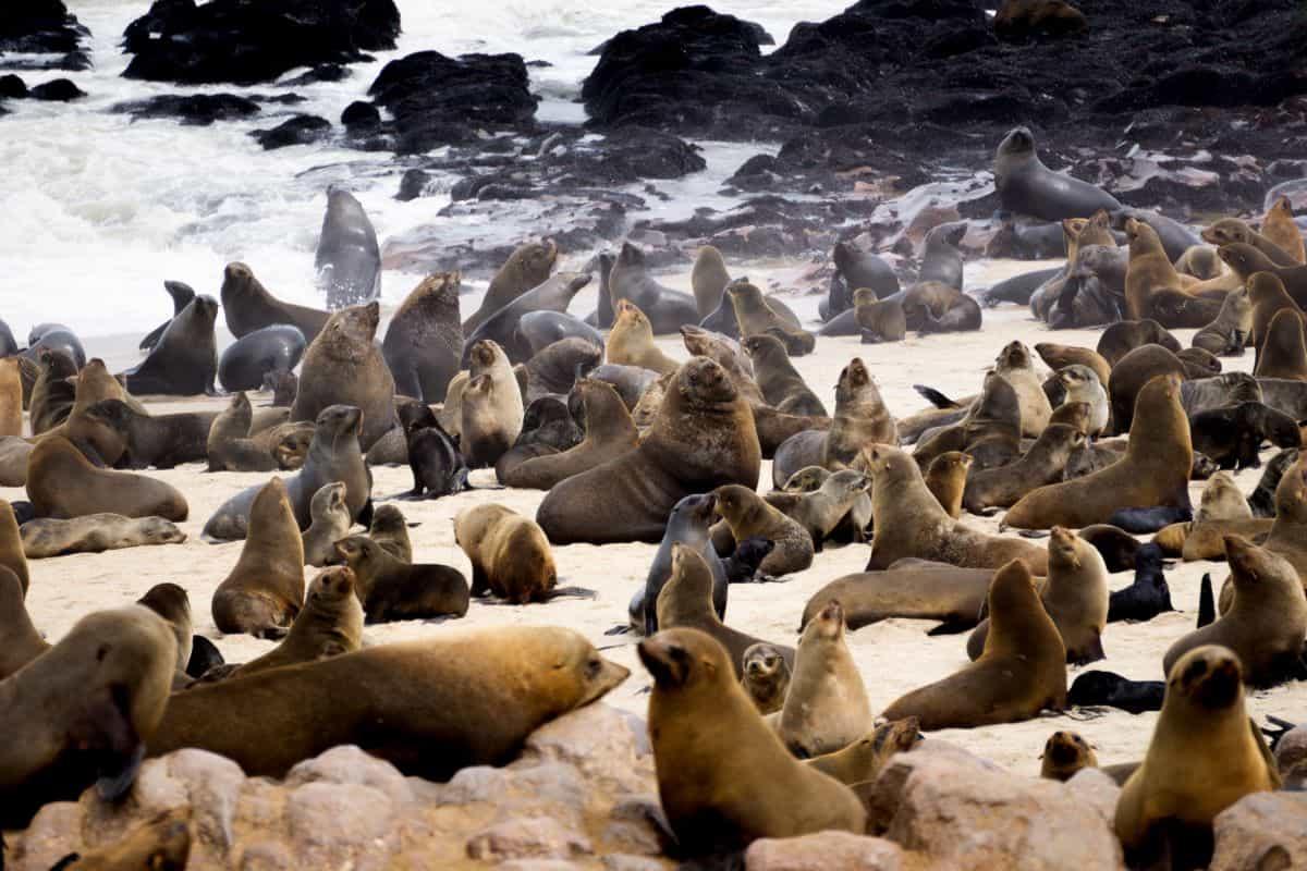 phoques du Parc National de la Skeleton Coast
