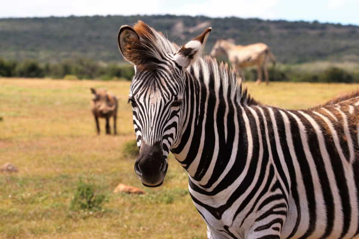 zèbre au parc national de Camdeboo