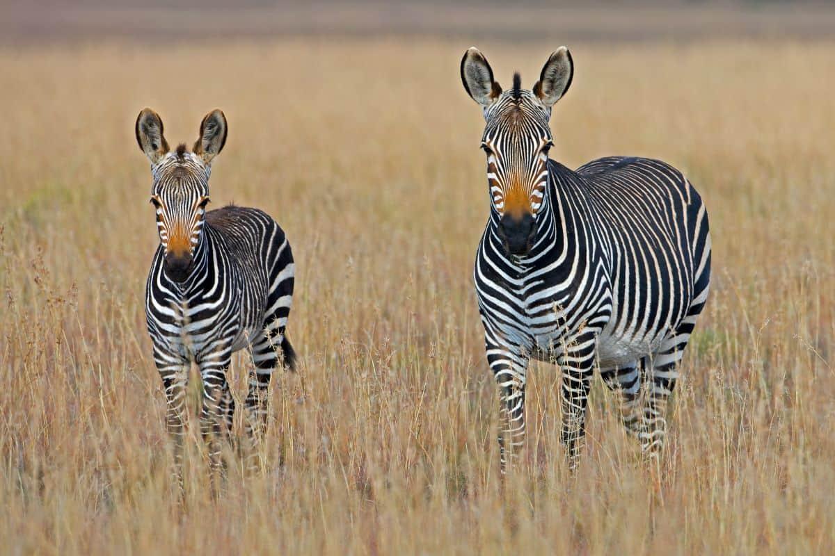 zèbres d'Afrique du sud