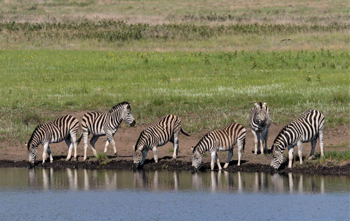 zèbres Delta Okavango