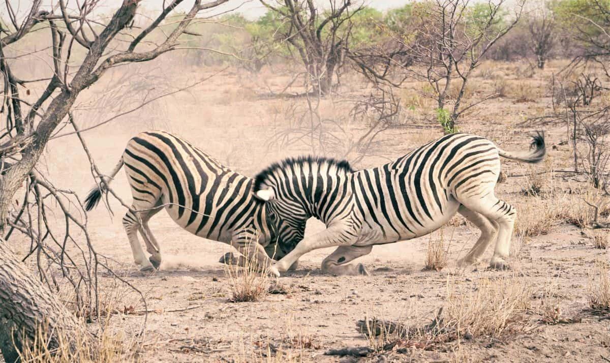 zèbres au parc national de khaudum