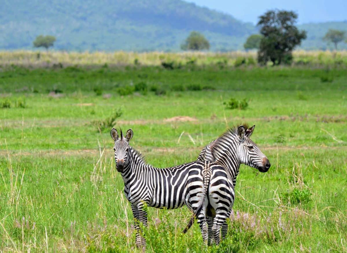 zèbres du parc du bas Zambèze
