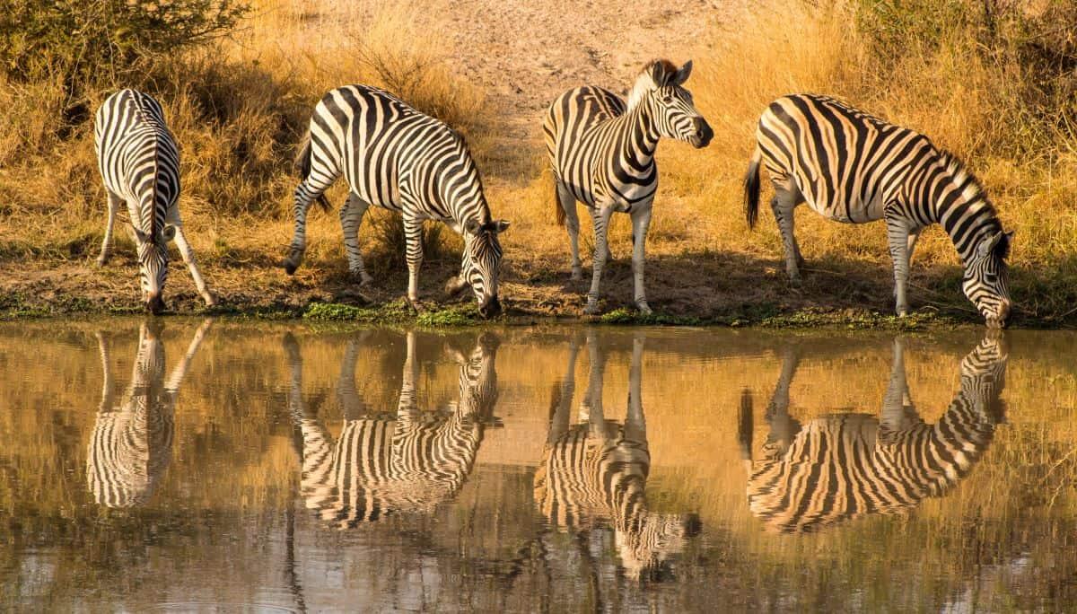 zèbres zambie