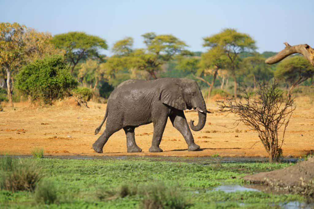Safari au Mozambique - Elephant