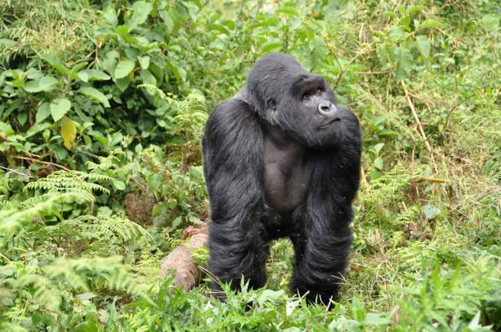 Safari au Rwanda - Gorille