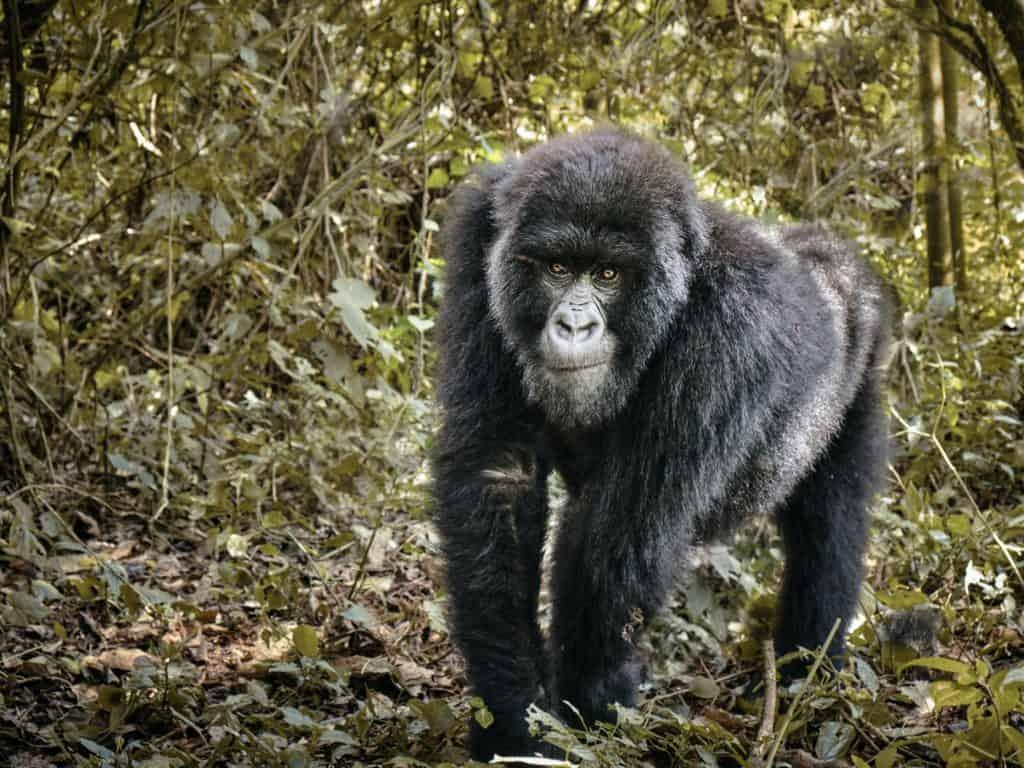 Safari au Rwanda - Gorille Virunga