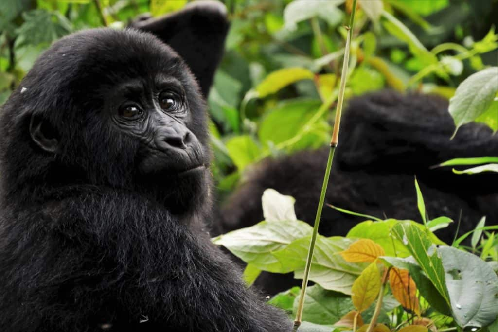 Safari en Ouganda - Forêt impénétrable de Bwindi
