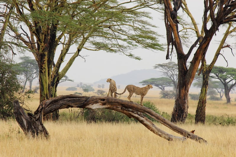 Guépards au parc du Serengeti